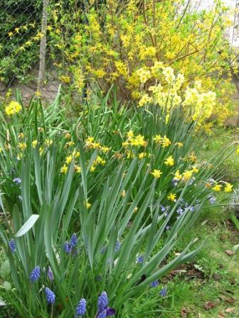 I bulbi a fioritura primaverile arredare la casa con for Bulbi narcisi