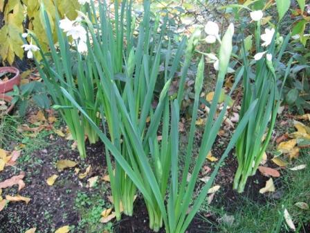 I bulbi a fioritura primaverile il narciso note for Bulbi narcisi