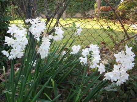I bulbi a fioritura primaverile il narciso note - Bulbi estivi quando piantarli ...