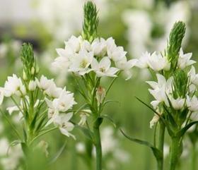 I bulbi a fioritura estiva consigli informazioni immagini for Nomi di fiori bianchi