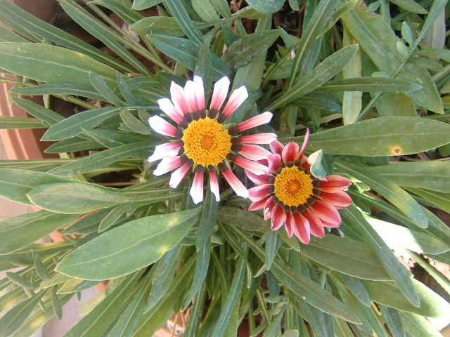 Piante da giardino fiorite perenni il tempo delle piante for Piante e fiori perenni